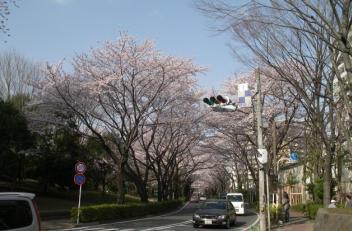 ハイヲピラ学習帳-桜並木