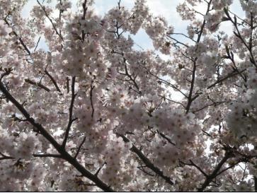 ハイヲピラ学習帳-桜下から