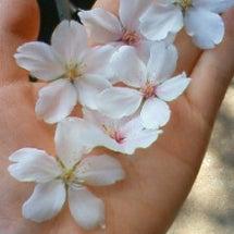 手のひらのお花見
