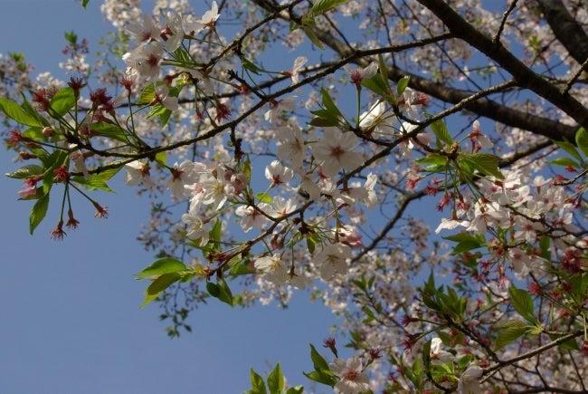 いろりや9640ブログ~高知県黒潮町LOVEな毎日をお届け~-桜の花