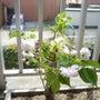 松月桜開花しました