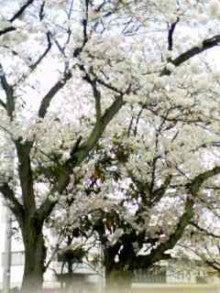 お客さまは、派遣スタッフさま-桜
