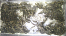 楽園管理人アツシの絵日記-450匹の蛍