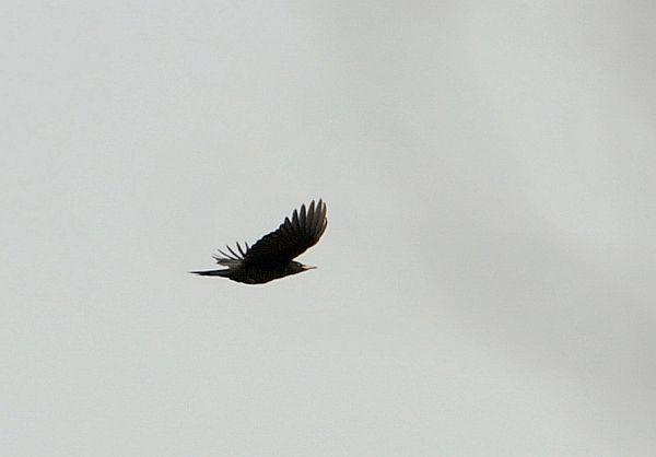 北海道の野生動植物写真-クマゲラ