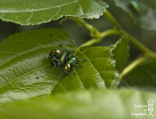 ケロケロの散歩道-甲虫