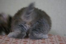 アメリカンカール★MARINE's BLOG★-アメリカンカール 子猫
