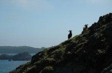 小笠原エコツアー 父島エコツアー         小笠原の旅情報と小笠原の自然を紹介します-ヤギ
