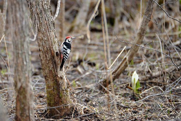 北海道の野生動植物写真-オオアカゲラ