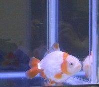 更紗の3LDKアクア-金魚さん2