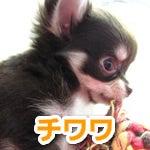 福生・青梅・東大和のペットショップ chouchou 仔犬・仔猫の在舎情報-チワワ