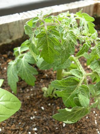 アロマとハーブと美食 ナチュラルビューティーでアンチエイジング-トマト