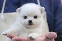 ペットショップ プチマリア 金沢店日記-小春