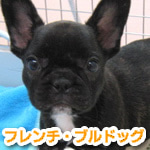 福生・青梅・東大和のペットショップ chouchou 仔犬・仔猫の在舎情報-フレンチ・ブルドッグ