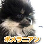 福生・青梅・東大和のペットショップ chouchou 仔犬・仔猫の在舎情報-ポメラニアン