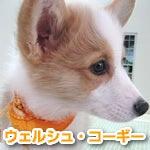 福生・青梅のペットショップ chouchou 仔犬・仔猫の在舎情報-ウェルシュ・コーギー