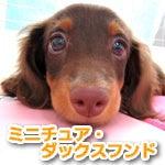福生・青梅・東大和のペットショップ chouchou 仔犬・仔猫の在舎情報-ミニチュア・ダックス・フンド