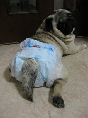 ふしぎな!?パグ犬メルモ