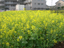 microcosmos B-菜の花2