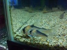 熱帯魚に癒される日々-SH3G0027.jpg