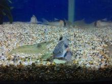 熱帯魚に癒される日々-SH3G0004.jpg