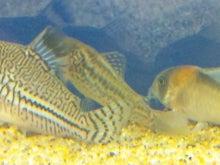 熱帯魚に癒される日々-SH3G0034.jpg