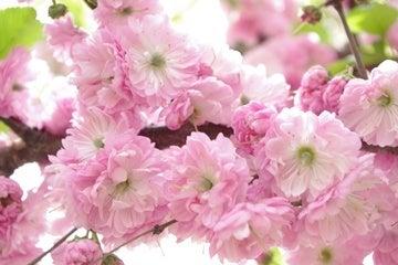 中国大連生活・観光旅行通信**-旅順 龍王塘 櫻花園