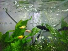熱帯魚に癒される日々-SH3G0065.jpg