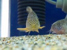 熱帯魚に癒される日々-SH3G0068.jpg