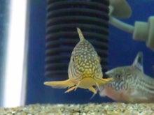 熱帯魚に癒される日々-SH3G0071.jpg