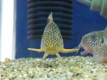 熱帯魚に癒される日々-SH3G0069.jpg