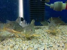 熱帯魚に癒される日々-SH3G007500010001.jpg
