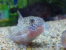熱帯魚に癒される日々-SH3G00570001.jpg