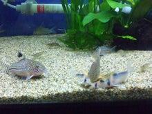 熱帯魚に癒される日々-SH3G00850001.jpg