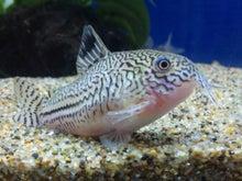 熱帯魚に癒される日々-SH3G0056.jpg