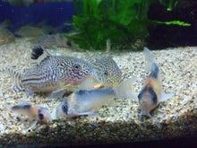 熱帯魚に癒される日々-SH3G00870001.jpg