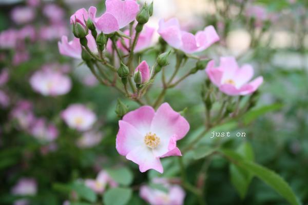 just on-バレリーナの花☆