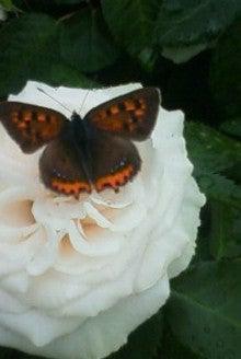 酒とホラの日々。-クチナシと蝶