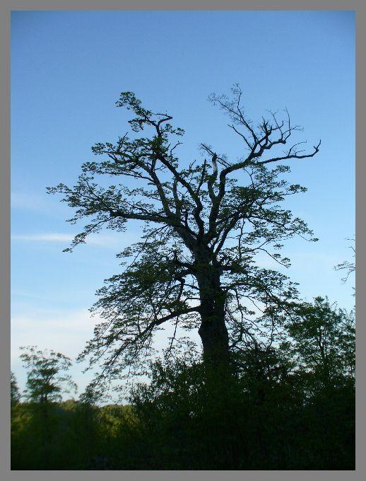 トビナナフシの写真-ブナの古木
