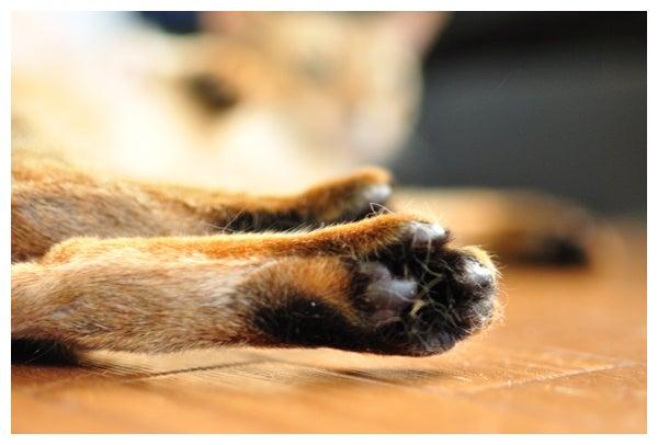 猫の写真と動画で@癒されちゃうブログ♪-アビシニアン_レオ君_651
