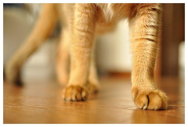 猫の写真と動画で@癒されちゃうブログ♪-アビシニアン_レオ君_643