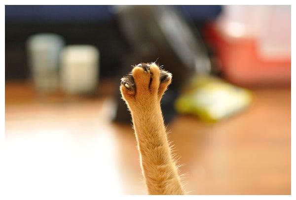 猫の写真と動画で@癒されちゃうブログ♪-アビシニアン_レオ君_644