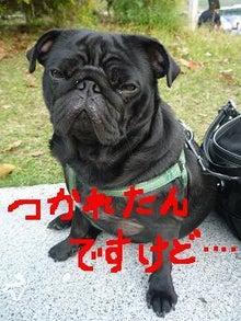黒パグパン日記-疲れ顔.jpg