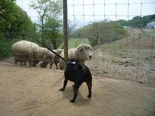 黒パグパン日記-羊さんと.jpg