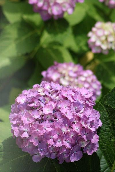 ゆる楽しいくらしづくり-アジサイ~だんだんと紫へ。
