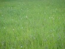 ムツゴロウ動物王国のブログ-タンポポの綿毛