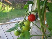 北欧からコンニチワ-Tomato-red
