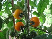 北欧からコンニチワ-Tomato-yellow