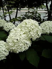 ナースで時々ヨギーニ☆小さな病院の片隅でささやかな愛を囁く☆-白い紫陽花