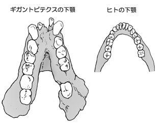 川崎悟司 オフィシャルブログ 古世界の住人 Powered by Ameba-ギガントピテクスとヒトの下顎