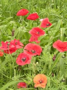 $楽しい毎日でありますように♪-アイスランドポピーの花